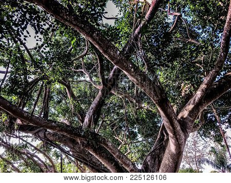 banyan tree trunks twisting above to form shade