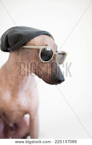 Brutal Mexican Hairless Dog in a hat and sunglasses on the white background