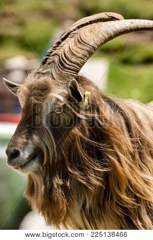 Portrait of a Brown and white billy goat with long fur and horns looking into the camera. Italian Alps