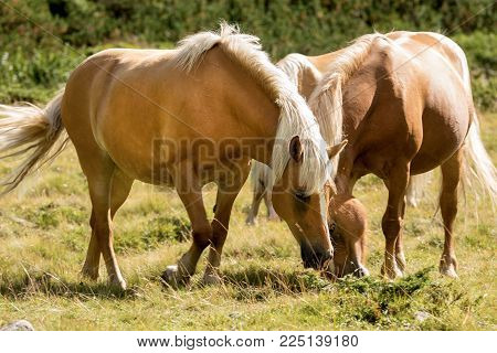 Brown and white horses that graze in the mountains. National Park of Adamello Brenta, Val di Fumo. Trentino Alto Adige, Italy