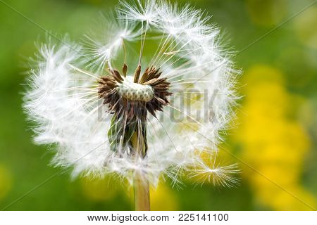 spring garden and meadow - springtime flowers: dandelion (Taraxacum officinale) - white dandelions seed agains the fresh green