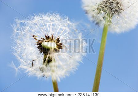 spring garden and meadow - springtime flowers: dandelion (Taraxacum officinale) - white dandelions seed against the blue sky