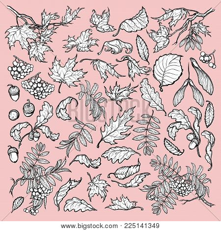 Hand drawn branches and leaves of temperate forest trees. Black and white sketch style set isolated on pink background. Maple, rowanberry, oak foliage, acorns and berries. EPS10 vector illustration