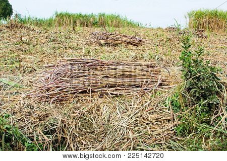 Harvested sugar cane stacked in the field