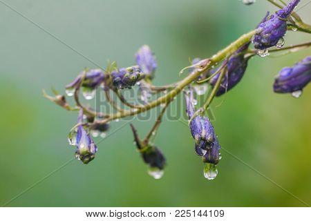 Larkspur purple flowers, Delphinium elatum with water drops after rain in a garden, close up