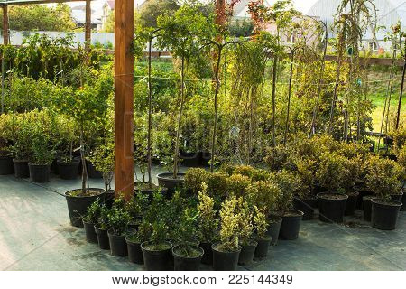 Various evergreen plants and bushes for landscaping an the outdoor greenery