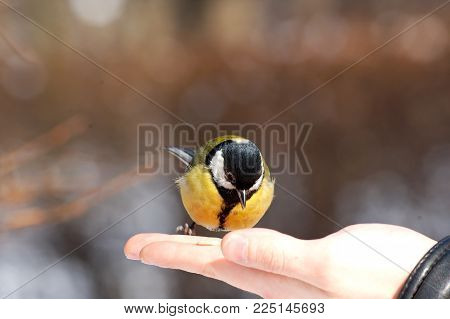 adorable bird titmouse eating winter seeds from the hand of a man