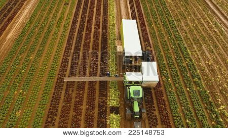 Aerial view Farm workers using a unique conveyor belt system to harvest cauliflower, Cabbage from a field.. Lettuce field. Machine conveyor belt system to harvest Lettuce from a field. Salad on the field, salad growing.
