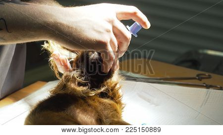 Veterinarian surgeon does an internal anesthetic for a dog in a veterinary clinic. Anesthesiologist prepares the dog for surgery.