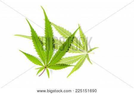 Marijuana Green Leafs Isolated On White Background