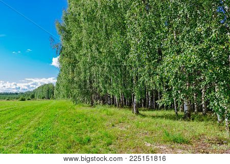 Birch coppice on a sunny summer day in the countryside