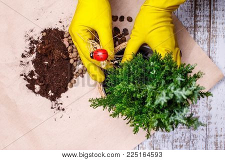 Transplanting houseplants in pictures Chamaecyparis.  The gardener changes the soil in a pot of home plant