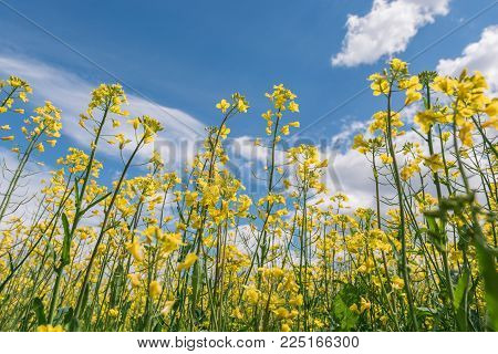 Bright yellow canola field under blue sky summer day.