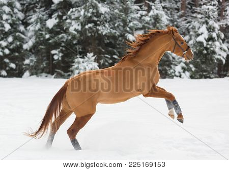 Beautiful budenny stallion jumpping outdoors at winter day