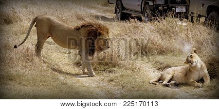 Lion and lioness in the Tanzanian sabana