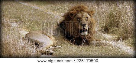 Lion in the African sabana in Tanzania