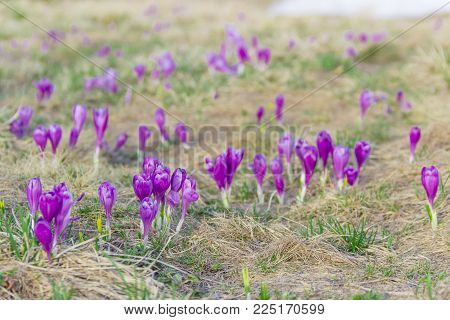 Mountain slope with group of the purple crocuses with matutinal half open flowers among the withered grass at selective focus