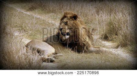 Lion in the wild sabana in Africa