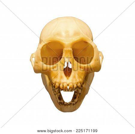 Monkey skull isolated on a white background