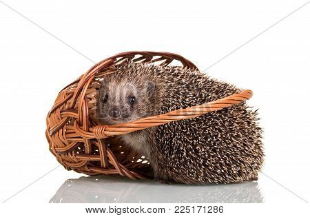 Amusing gray hedgehog fell out of the wicker basket, isolated on white background