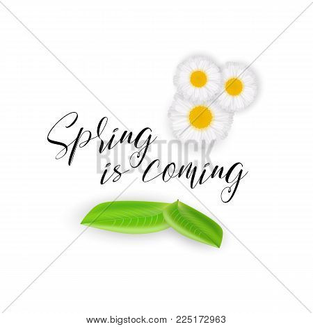 Spring is coming, handwritten calligraphic motivational spring quote, vector illustration. Realistic cute chamomile flowers, green leaves isolated on white background. Spring mood card for banners. Spring background, flowers and leaves.