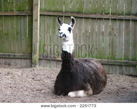 Llama Resting