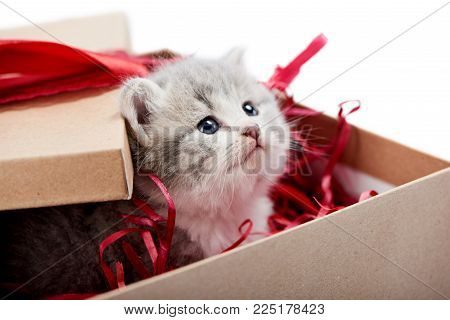 Little curious grey fluffy kitten looking from decorated cardboard birthday box being cute present for special occasion. Small adorable pretty cat valentine red bow blue eyes love happiness cuteness