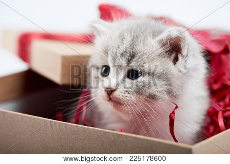 Closeup of little cute fluffy grey kitten sitting in decorated cardboard borthday box as present for special occasion. Red bow valentine adorable charming playful cat cuteness happiness funny kittycat