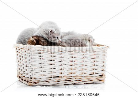 Little newborn fluffy adorable kittens playing together in white wicker basket on white background in photo studio. Gray small pretty cute amusing kitties curious interested cuteness happiness