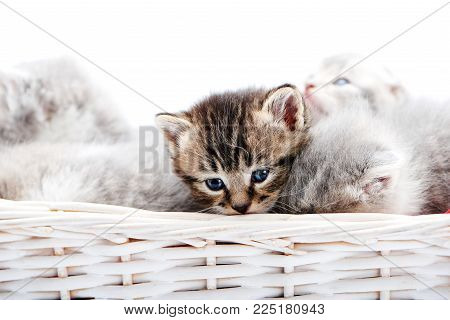 Small brown striped fluffy blue-eyed kitten sitting among other cute grey kitties in white wicker basket while posing for photoset. Little newborn gray charming adorable kitties cuteness happiness