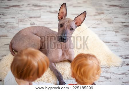 Mexican Hairless Dog playing with redhead children