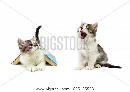 fluffy kittens isolated on white background. horizontal photo.