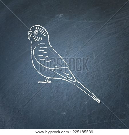 Budgerigar or budgie parrot icon sketch on chalkboard. Australian tropical bird symbol drawing on blackboard.