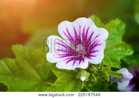 Mallow Flower Or Forest Mallow Flower In Summer Forest, In Latin Malva Sylvestris. Flower Summer Bac