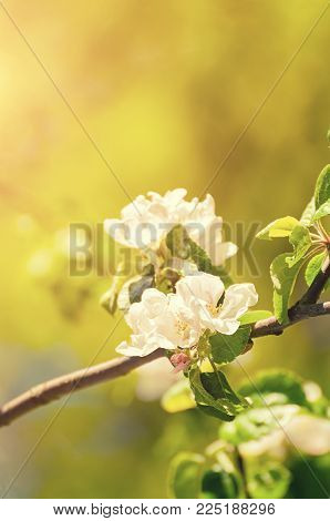 Spring Apple Flowers In Blossom Lit By Sunshine, Spring Flower Background. Spring Apple Tree Branch
