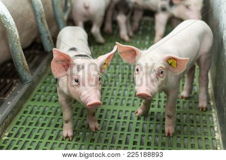 Two pigs, Pig farm, Funny pigs are looking at the camera
