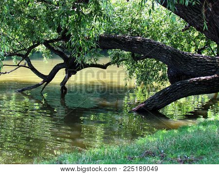 Natural still life with broken tree in water. Old willow falls into a pond, Summer natural scene