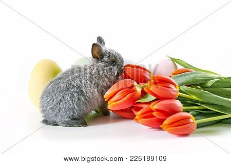 Cute gray baby bunny sniffing tulips on white table. Isolated