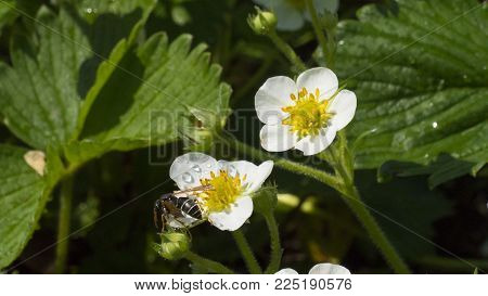 Strawberrys Blossom In The Garden And One Bee