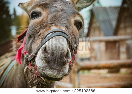 The donkey is close to the camera, the donkey's nose is close up. Toned soft focus