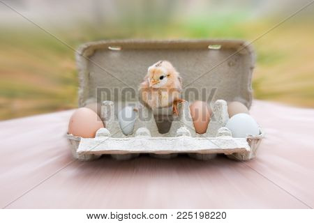 funny little yellow chicken with egg in egg box on Easter