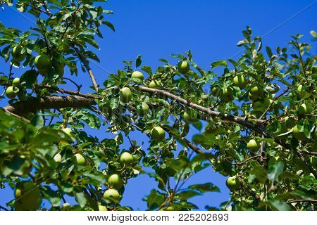Ripening apples on a branch in the garden