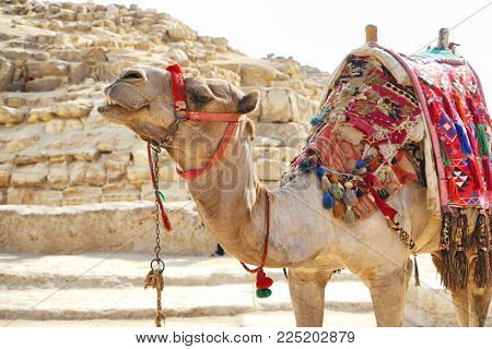 CAIRO, EGYPT - NOVEMBER 19, 2017: Cute camel on The Giza Plateau