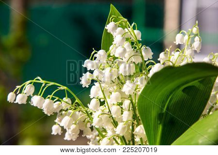 Lily Of The Valley Flowers. Natural Background With Blooming Lilies Of The Valley Lilies-of-the-vall