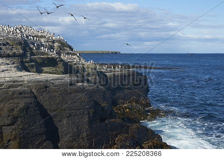 Large Group Of Imperial Shag (phalacrocorax Atriceps Albiventer) On The Coast Of Bleaker Island On T