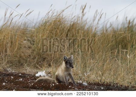 Young Arctic Fox, Vulpes Lagopus, In Fall Colours Staring Off Into The Distance Near Its Den, Near A