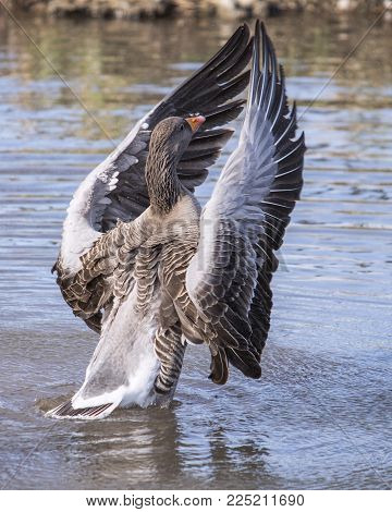 Wildlife and Nature, Greylag Goose waterfowl bird flapping wings in a  rural lake