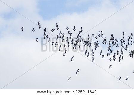 Wildlife and Nature, a flock of wild birds in flight