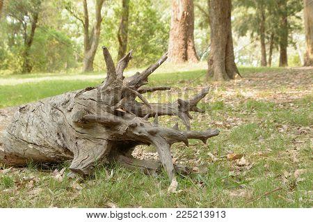 old tree trunk fallen in the park, Montevideo Uruguay
