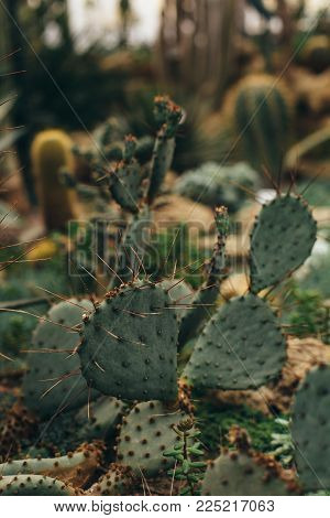 Leaves of green juicy cactus with long sharp corners front view